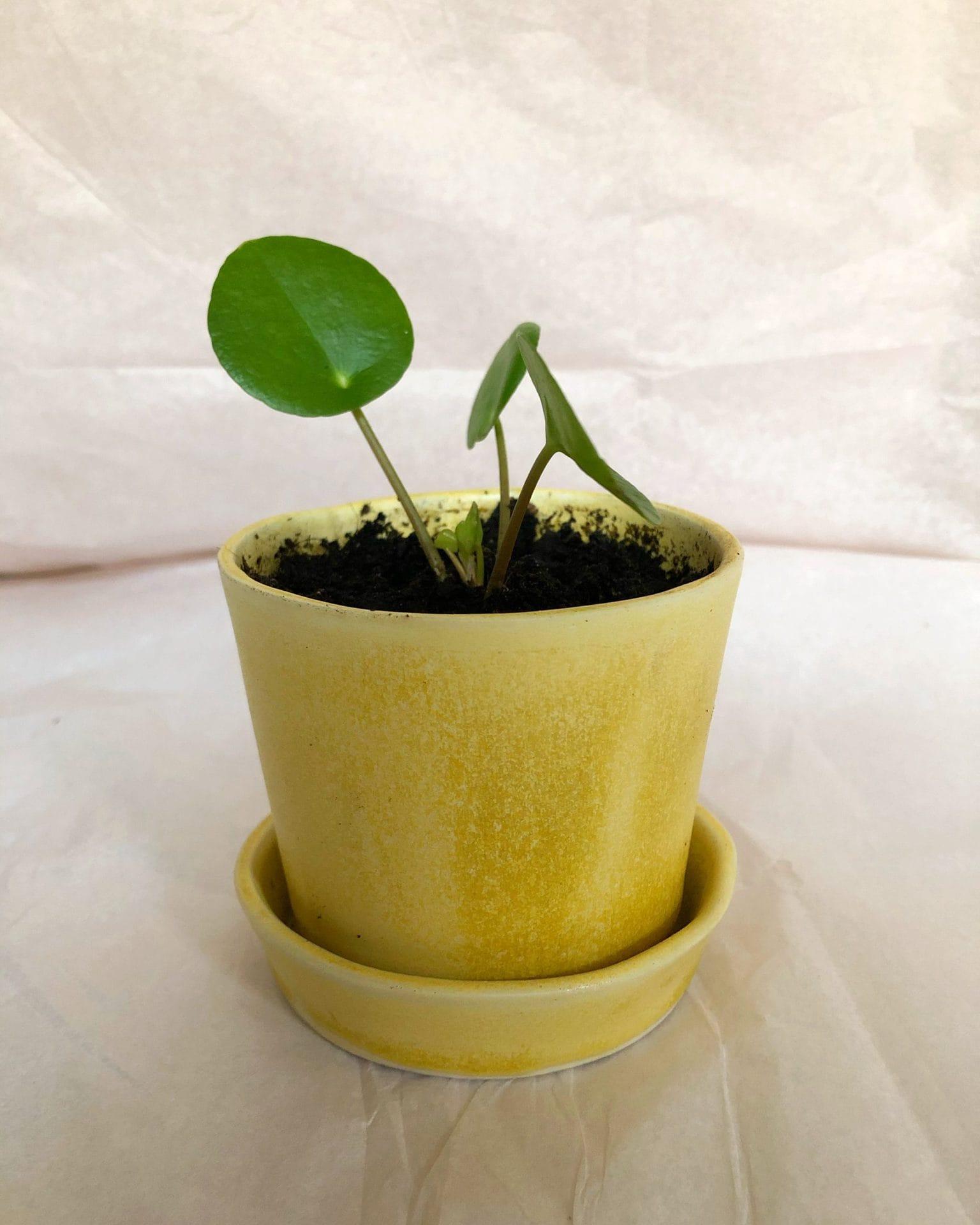 Keramik urtepotte gul